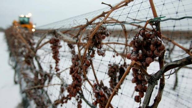 Some Niagara grape growers are worried about the effect of the cold on their vines. This file picture shows Niagara Vidal grapes in winter.