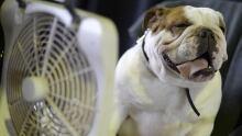Westminster 2014 cool bulldog