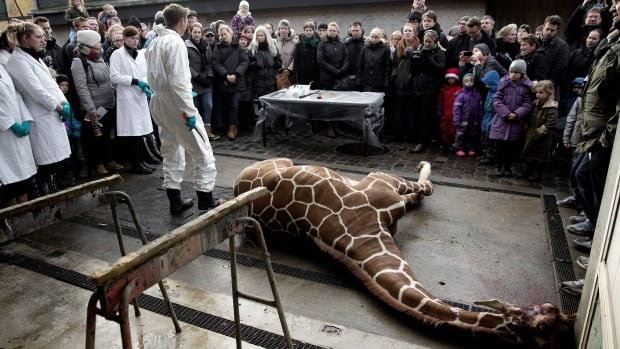 Marius, a male giraffe, lies dead before being dissected, after he was put down at Copenhagen Zoo on Sunday. The 2-year-old male giraffe, named Marius, was put down using a bolt pistol. Visitors, including children, were invited to watch while the giraffe was dissected.