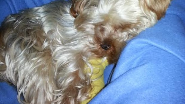 The vet bill for Olivia, a Yorkshire Terrier with a broken leg, cost almost $4,000.