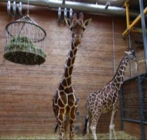 copenhagen zoo marius giraffe