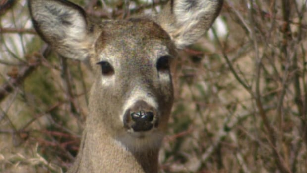The deer population in southeast B.C. has exploded in recent years, prompting local communities to carry out controversial culls.