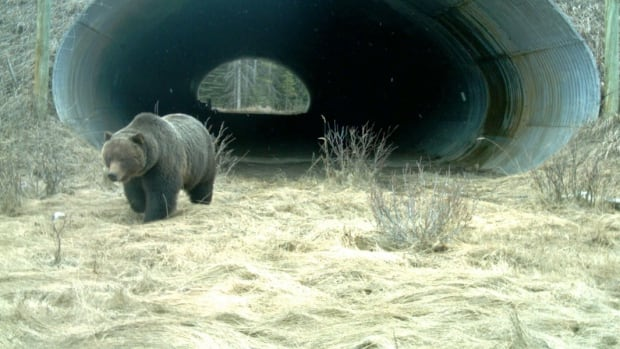 An image captured by a wildlife camera shows a grizzly bear emerging from an underpass after crossing the Trans-Canada Highway in Banff National Park. The park has 38 underpasses and six overpasses crossing the highway.