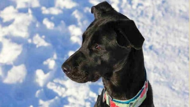 Breezy the lab-retriever mix has recovered from her injuries and is ready for adoption, the Ottawa Humane Society has announced.