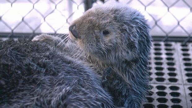 Whiffen, the sea otter rescued by the Vancouver Aquarium in February, has died.