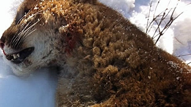 This badly injured male cougar had to be put down by conservation officers on Tuesday after it was found near an elementary school near Vernon, B.C.