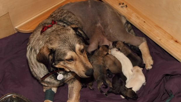 Shania, a German shepherd cross, gave birth to nine puppies shortly after life-saving surgery to the surprise and delight of surgeons.