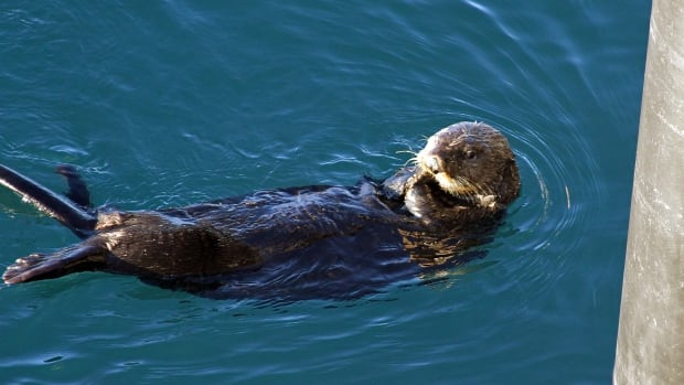 A U.S. federal study has found that the sea otter population has returned to similar levels as before the massive crude oil spilled from the Exxon Valdez 25 years ago.