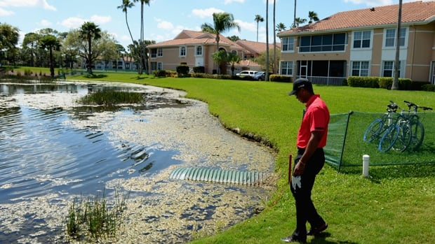 Tiger Woods looks for his mishit ball shortly before pulling out of the Honda Classic in Palm Beach Gardens, Fla., on Sunday.