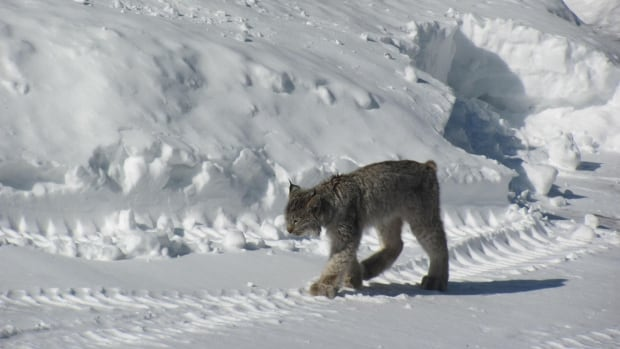 Hendrika Krygsman snapped this photo of a lynx in Temagami. It's not uncommon for wild animals to come closer to more populated areas in the search for food as the winter draws to a close, an MNR biologist says. Recently two lynx were killed in Timmins. One was particularly aggressive and killed a dog.