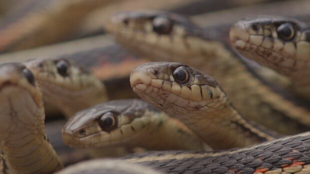 These red-sided garter snakes, as seen on the CBC-TV series Wild Canada, are from the Narcisse snake pits. The reptiles have started appearing in a number of homes in the province's Westman region, prompting a spike in calls to pest control companies.