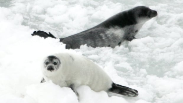 With good ice conditions this year, harp seals are expected to stay well off-shore.