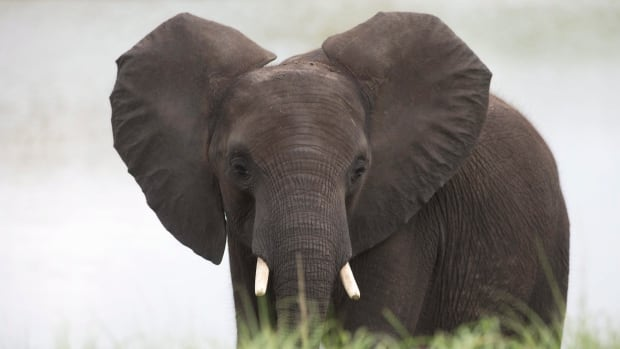 The researchers said the findings provided the first proof elephants can distinguish between human voices, and suggested that other animals seeking to avoid hunters may also have developed this skill.