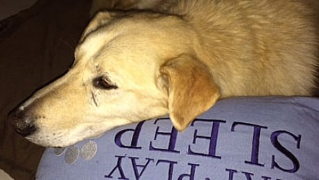Former Whistler sled dog missing in North Vancouver