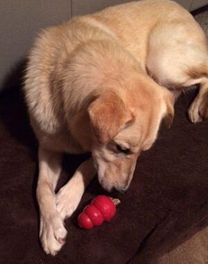 Louie, the sled dog