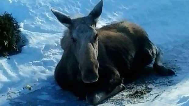 Melonie Whitty and her roommate saw the injured moose struggling at the far end of an icy parking lot at St. Peter's parish hall in Ingonish around 3:30 Friday afternoon.