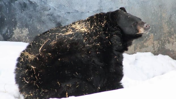 Visitors to the Chippewa wildlife exhibit in Thunder Bay this weekend were treated to something most people don't get a chance to see — a bear waking up from its winter sleep.