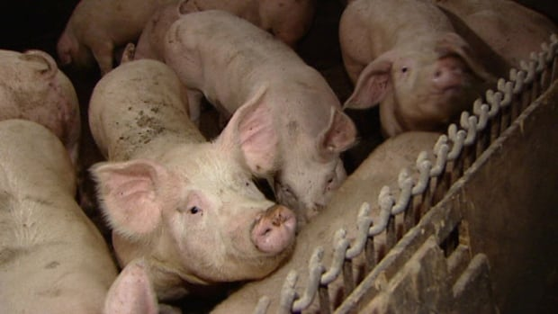 Prices for P.E.I. hogs are up 66 cents a kilogram since the first week of January.