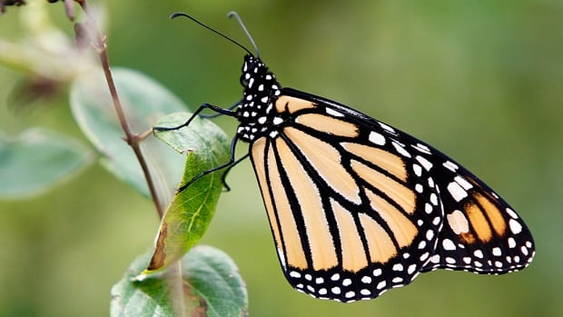 Crews have reported more caterpillars this year, as well as male monarchs defending milkweed patches, which is a positive sign for the butterfly's reproduction.