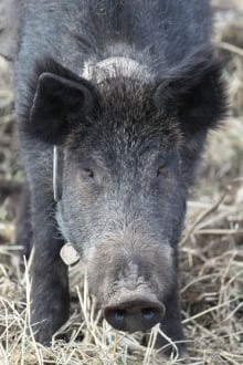 Northwest Feral Pigs