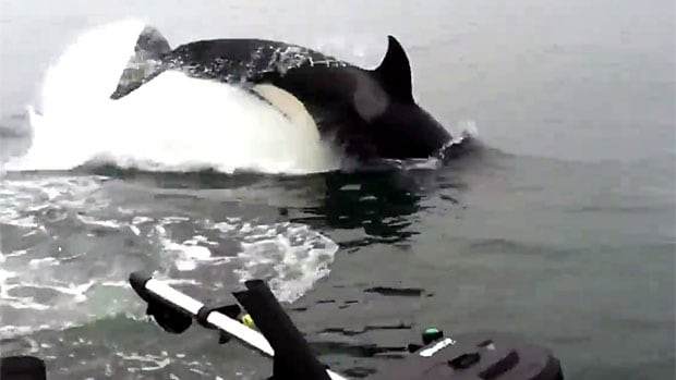 The YouTube video shows a pod of orcas hunting sea lions near a sportfishing boat on Wednesday near Prince Rupert B.C.