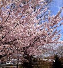 Cherry Blossom Festival - gallery photo copy - enhanced