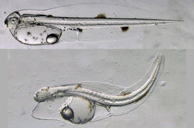 Tuna larva