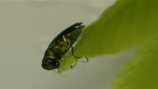 The emerald ash borer beetle infests ash trees, eating them from the inside.