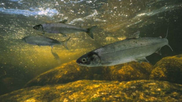 Scientists believe there are fewer than 1,000 Atlantic whitefish in the wild.