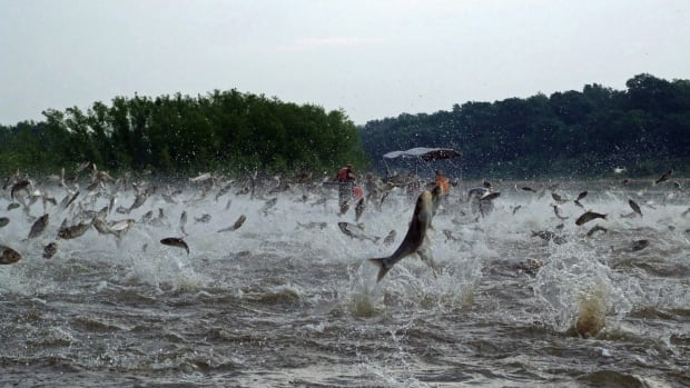 Illinois River silver carp, also known as Asian Carp, jump out of the water after being disturbed by noise from boats. Asian Carp, zebra mussels, cane toads, killer bees, kudzu vine, and walking catfish have all been spotlighted as invasive species in North America.