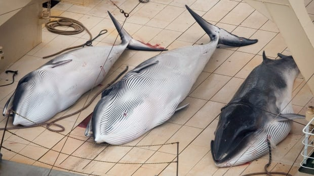 Three dead minke whales lie on the deck of the Japanese whaling vessel Nisshin Maru in the Southern Ocean in January.  Declining sales of whale meat and an impending court ruling are threatening the struggling industry.