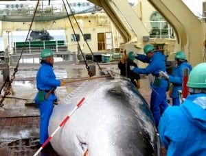 Japan Whaling Woes