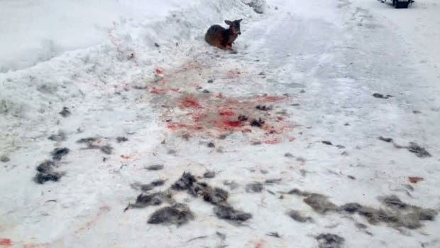An injured deer stopped Kenora resident Wayne Sykora in his tracks as he was snowmobiling. He says wild dogs are roaming his neighbourhood and killing deer.