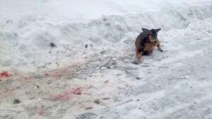 injured deer in snow