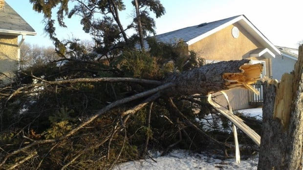 A huge tree split near the bottom and fell between two homes on Windemere Avenue Saturday night.