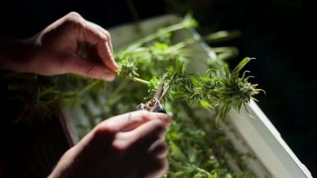 "New federal rules banning home-grown medical marijuana are creating what some call a ""green rush"" for grow-startups looking to fill prescriptions in Canada. Some of those businesses are looking to consultants, such as former B.C. Solicitor Kash Heed, to help navigate the rules and regulations."