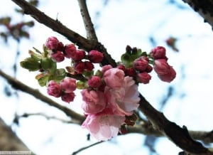 Cherry and plum blossoms are a sure sign of spring on B.C.'s South Coast, but can you tell the difference?