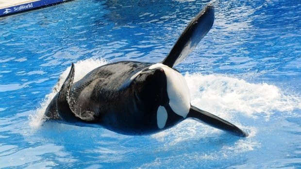 Killer whale Tilikum, seen here in a 2011 photo in Florida, is in deteriorating health.