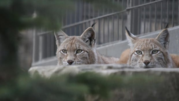 The Calgary Zoo announced Friday it is welcoming two new lynx. Kazan, left, and Anastasia come to the zoo from Elmvale, Ont.