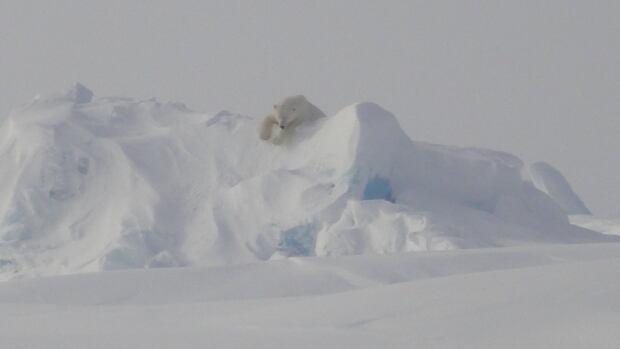 This polar bear was seen near Resolute, Nunavut, in April.