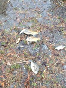 Dead fish wash up in Beckett's Landing