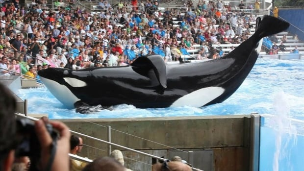 Tilikum performs at SeaWorld in a scene from 'Blackfish.' The 2013 documentary argues that deaths and injuries of trainers are proof that orcas in captivity are under stress and should be freed.