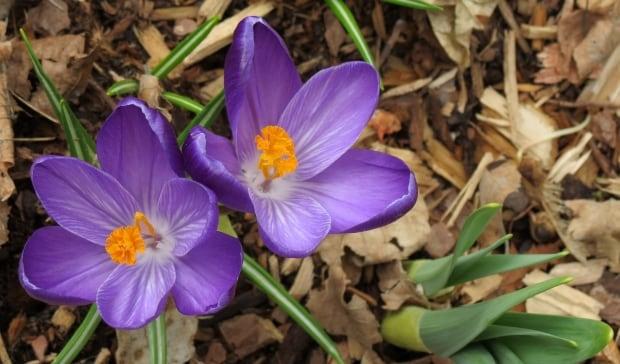St. John's sign of spring