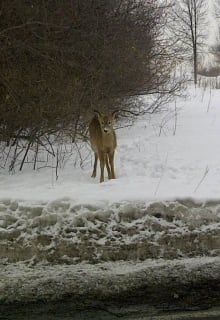 Deer in Ste-Anne