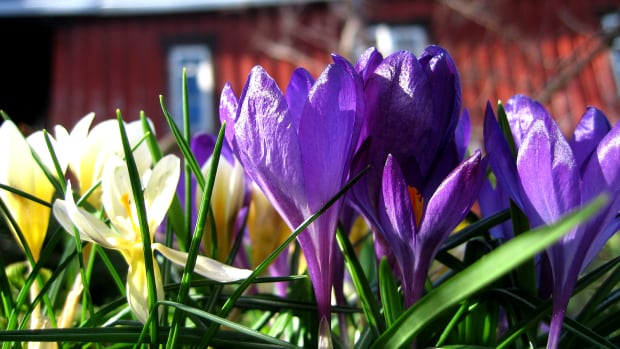 Do not eat azaleas, daffodils, hyacinths, irises, buttercups and lily-of-the-valley. They are poisonous.