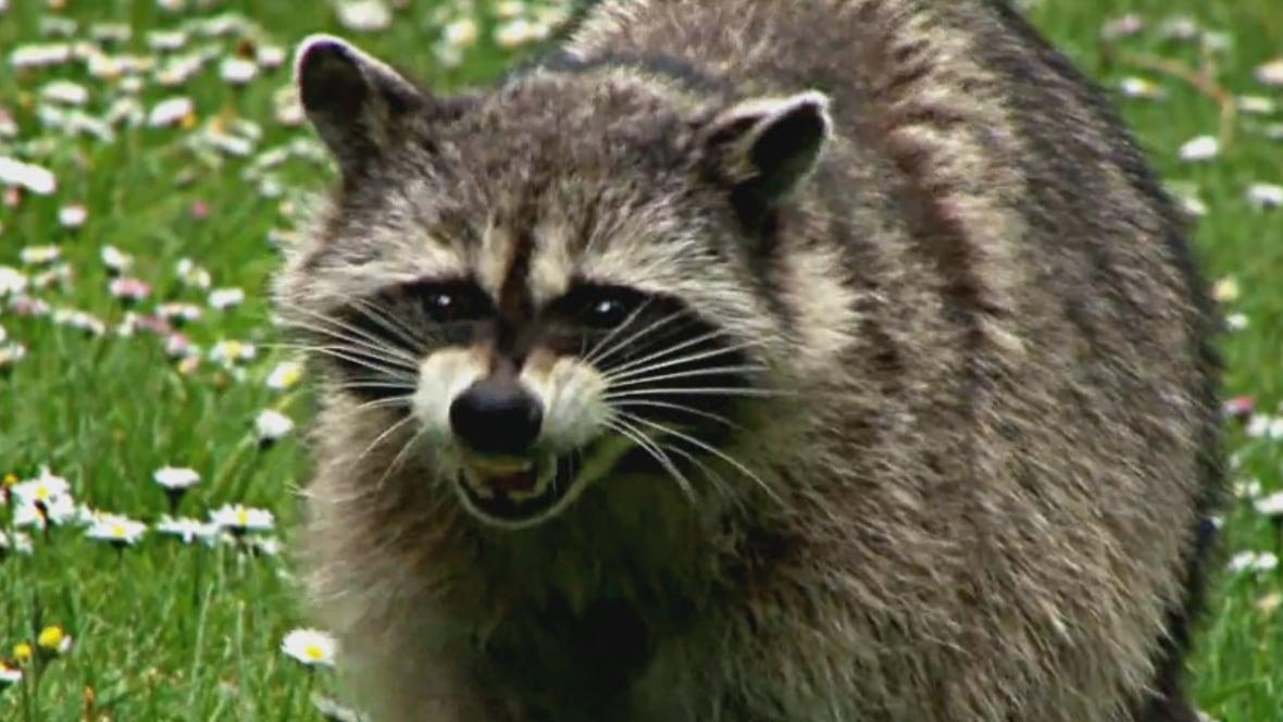 raccoon rabies  3 more cases found in hamilton - latest hamilton news