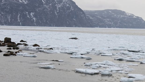 Kayla Kendall tweeted this photograph on Saturday of a whale stranded at Rocky Harbour because of ice.