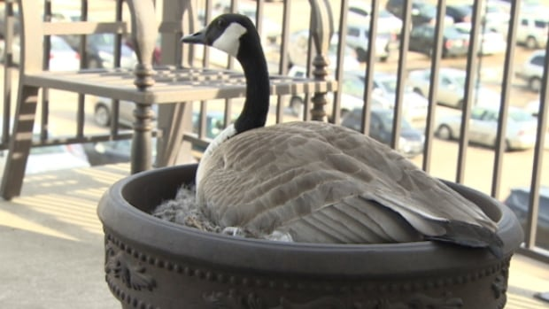 A mother goose that has built a nest in a balcony planter has laid three more eggs.