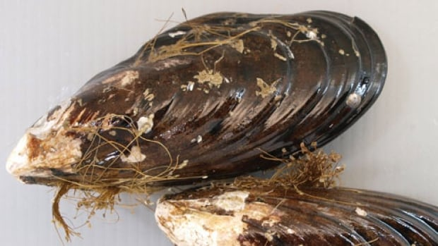 The mytilus coruscus, also known as the Korean mussel or hard-shelled mussel, looks similar to the black-shelled mussels common to the West Coast. The broader family, or genus, of this mussel tends to cluster in large groups.