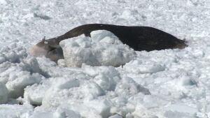 dead blue whale Bonne Bay